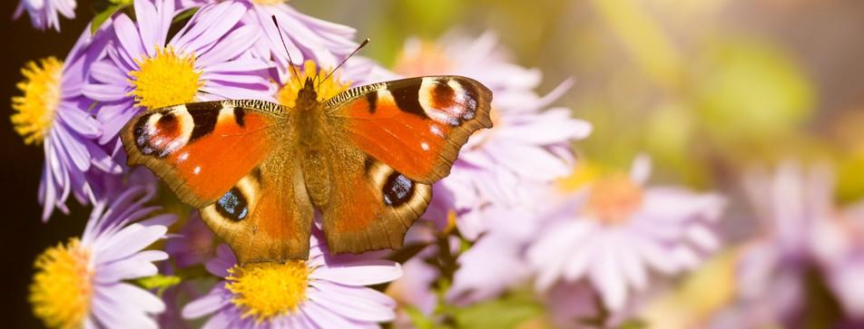 Schmetterlinge auf den Balkon locken