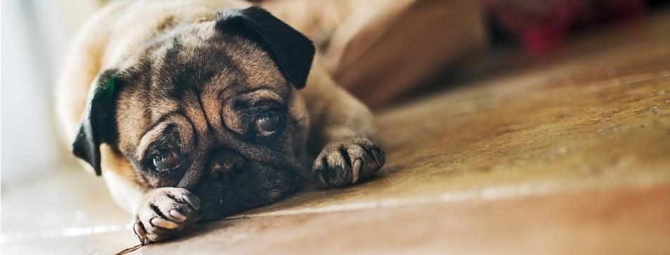 Selbst ein Mops passt nicht zu jedem Menschen. Das Hunde-Mensch-Team sollte bedacht gewählt werden.