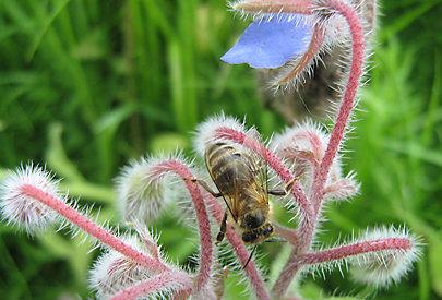 Die Biene sammelt Nektar und Pollen.