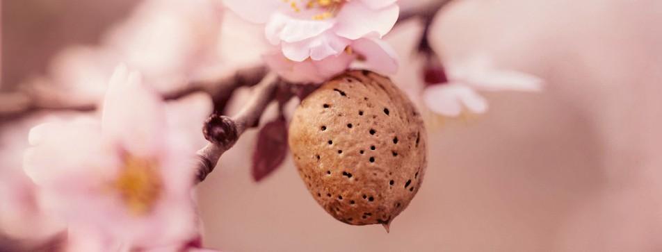 Der Mandelbaum verpackt seinen Samen gut - dieser ist nachts vor Kälte geschützt und holt sich tagsüber die Energie der Sonne.