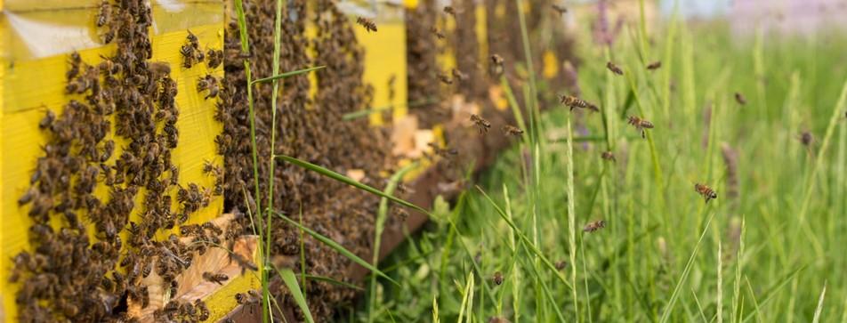 Urban Bee Keeping: Stadtimkern ist das neue Trend-Hobby.